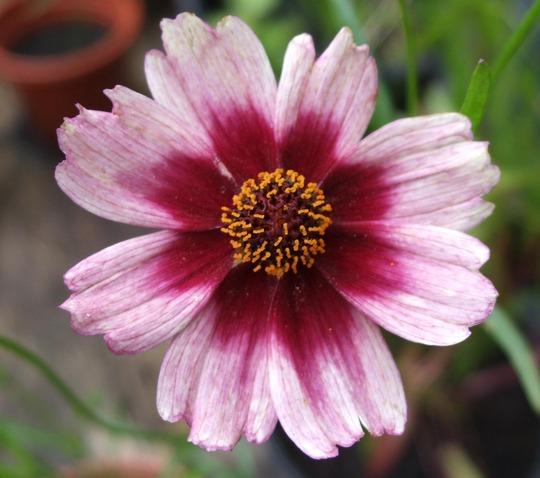 Coreopsis 'Cumbia' (Coreopsis rosea (Tickseed))