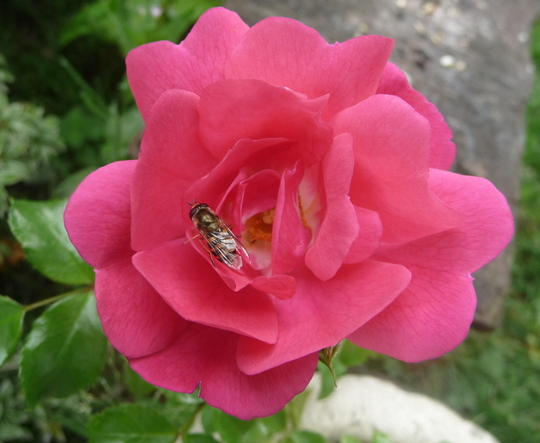 Hover fly on miniature patio rose.