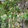 Evergreen honeysuckle - Lonicera pileata