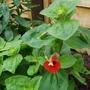 Perennial Mimulus