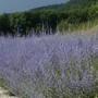 Perovskia Blue Spire
