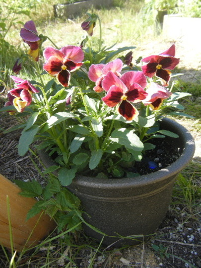 Pansy From Seed