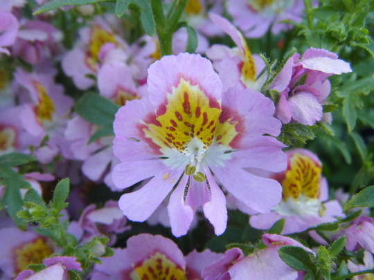 Close Up of Schizanthus