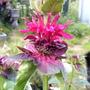 Blooming Begins, Monarda (Monarda didyma (Bergamot))