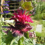 Bergamot 'Fireball Bee Balm' (Monarda didyma (Bergamot))