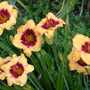 Daylily_spell_fire_7_12_05_groupgood_med
