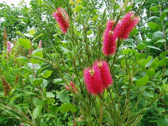Callistemon citrinus (Callistemon Citrinus (Bottle Brush Plant))