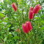 Callistemon citrinus (Callistemon Citrinus (Bottle Brush Plant))