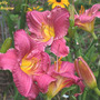 Daylily_vera_biaglow_7_11_04_exc_med