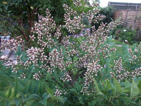 Heavenly Bamboo (Nandina domestica (Heavenly bamboo))