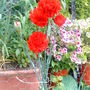 Carnation_red_close_up_.2009_07_06