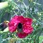 Bee_on_Carnation__Close_up__2009-07-06.jpg (Dianthus caryophyllus)