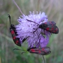 Moths on Thistle (Burnet Moths. Common Blood Drop)