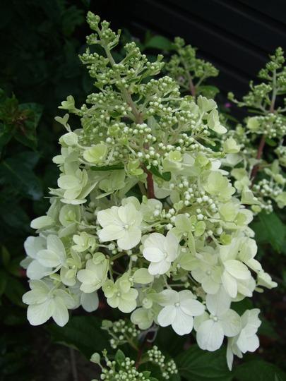 Hydrangea paniculata 'Pinky Winky' (Hydrangea paniculata (Hydrangea))