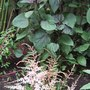 Astilbe_planted