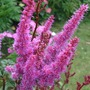 Astilbe_chinensis_purpurlanze_