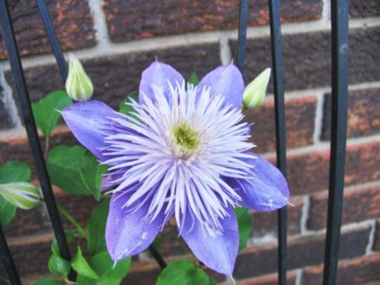 Clematis - Crystal Fountain