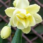Daffodil 'Cheerfulness' (Narcissus 'Cheerfulness')