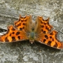 Close-up_butterfly_Bedfont_Lakes_190709.jpg