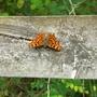 Butterfly_Bedfont_Lakes_190709.jpg