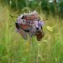 Four_moths_Bedfont_Lakes (Burnet Moths. Common Blood Drop)