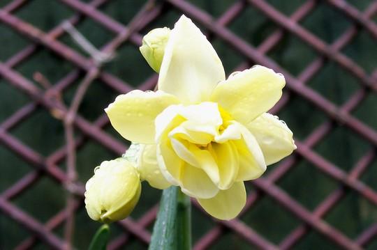 Cheerfulness (Narcissus 'Cheerfulness')