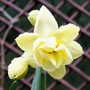 Cheerfulness (Narcissus 'Cheerfulness')