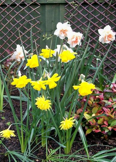 Narcissus Display