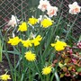 Narcissus Display