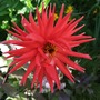 Dahlia_city_of_rotterdam_