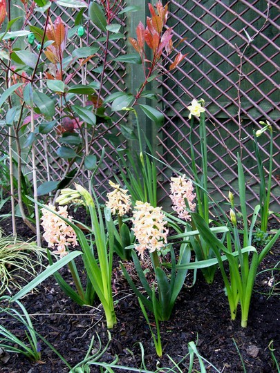 Hyacinths - going strong