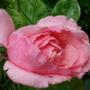 Rose 'Sir Cliff Richard'