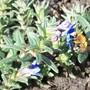 buzzzz.jpg (Lithodora diffusa (Lithodora))