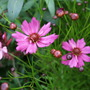 Coreopsis 'Limerock Passion' (Coreopsis rosea (Tickseed))