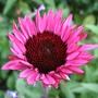Echinacea_fatal_attraction_