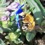 buzzzz2.jpg (Lithodora diffusa (Lithodora))