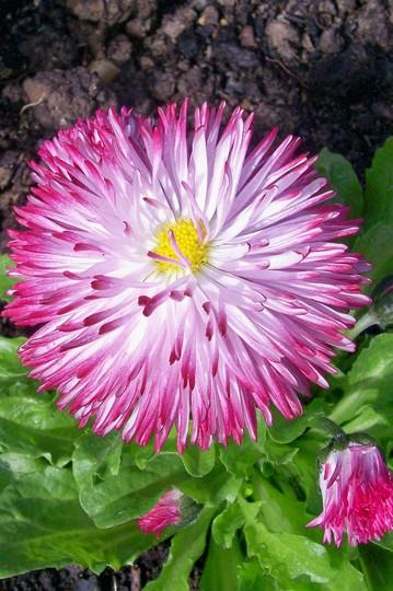 Bellis Daisy - April (Bellis perennis (Common Daisy))