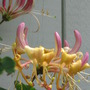 honeysuckle (lonicera)