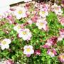 Saxifraga - full bloom (Saxifraga x arendsii)