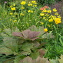 Rodgersia and Primulas