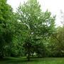 Handkerchief_tree