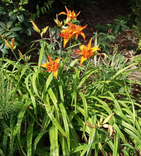 Day Lily (general view) (Hemerocallis)