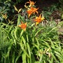 Day Lily (general view) (Hemerocallis)