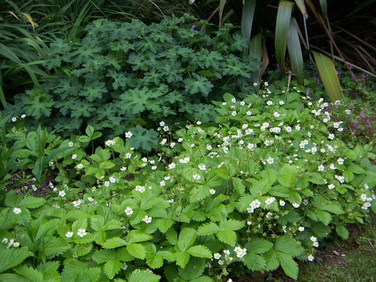 alpine strawberries as ground cover