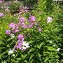 Garden Flox