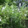 Perennial Sweet Pea - White Pearl