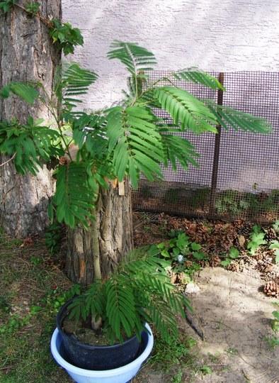 Silk Acacia tree (Albizia julibrissin)