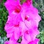 Plum Tart Gladiolus (Gladiolus grandiflorus)