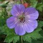 Geranium wallichianum  'Buxton's Variety' (Geranium wallichianum)
