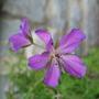 Geranium_clarkei_kashmir_purple_